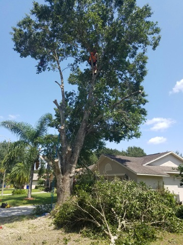 Tree Removal Kissimmee FL